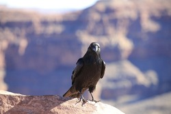 Raven perched on the edge of a rock