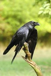 Raven relaxing