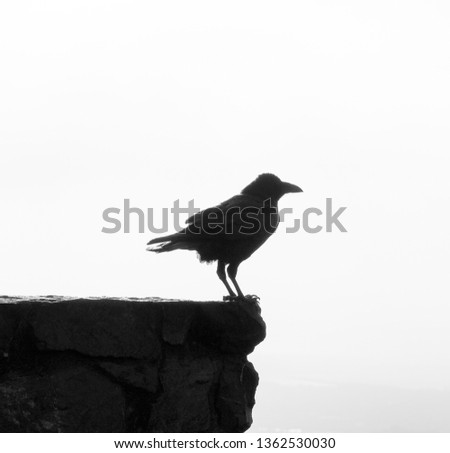 Raven silhoutte on a rock #1362530030