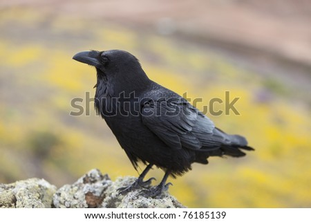 raven sitting on a stone. focus on head and wing.