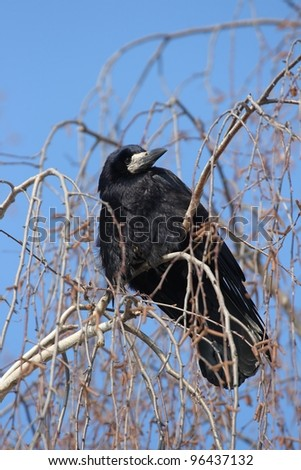Raven sitting on a tree. The end of winter.