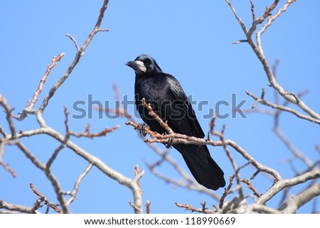 Raven sitting on a tree. Winter.