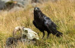 Raven with a Sheep Skull on open moorland in Cumbria, England