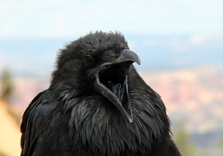 Raven With Open Mouth in Bryce Canyon, Utah, USA