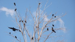 Ravens fly and sit over leafless trees . Flock of crows in the Natural on blue sky and white clouds backgrounds. Birds is standing on the tree . crow group animals group Birds gathering Bird migration