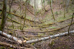 ravine in a forest with a small forest river in the middle. Dead tree trunks and branches have chaotically coincided over it. Beautiful landscape. Wood
