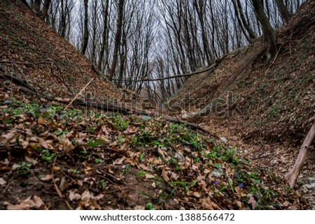 Ravine in beautiful wild hornbeam tree forest with blue flowers of scilla grow around . Western Ukraine