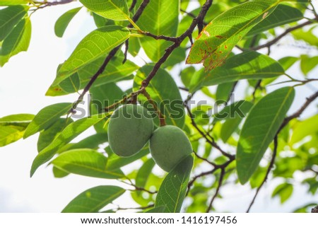 Raw Asian wild almond or Irvingia malayana fruit on its tree. The fruit of this tree is sour and a bit bitter. The big animals like deer and cow likes to eat the fresh fruits of it, seeds are edible  #1416197456