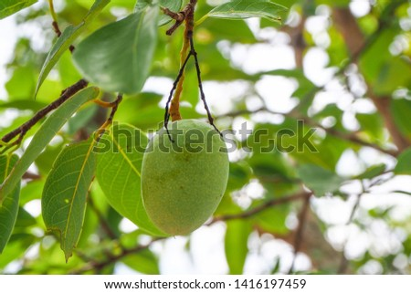 Raw Asian wild almond or Irvingia malayana fruit on its tree. The fruit of this tree is sour and a bit bitter. The big animals like deer and cow likes to eat the fresh fruits of it, seeds are edible  #1416197459