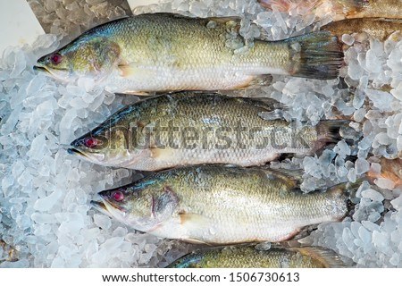 Raw barramundi fish on ice in Thailand market ,seafood background ,seafood market. Close up of fresh fishes Giant Perch, barramundi, silver perch, white perch, white snapper or sea basses in cool ice.