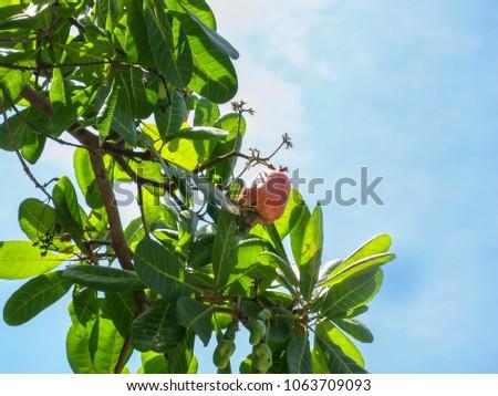 Raw cashew on tree. #1063709093