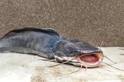 Raw catfish on a cutting board, cooking fish