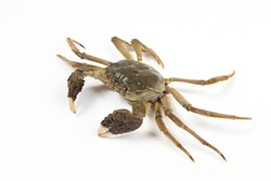 Raw Chinese mitten crab, shanghai hairy crab isolated on white background.(大闸蟹)