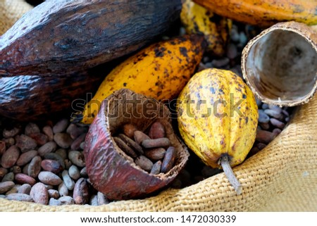 Raw cocoa fruits and cocoa beans in sack bag , raw cocoa fruits , cocoa beans #1472030339