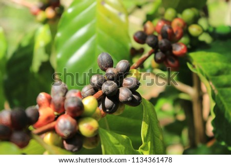 Raw coffee beans in the coffee orchid plants by local tribal. Chiang Mai, Thailand