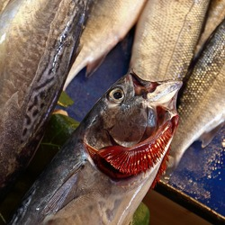 Raw fresh fish with red gills at the street market. Mackerel with splayed gills. Close up, selective focus