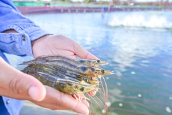 Raw fresh pacific white shrimp (L. vannamei) in hands at aquaculture farm site