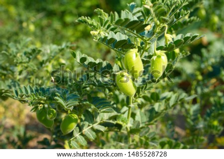 raw green fresh chickpeas plant. Heap of legume chickpea background