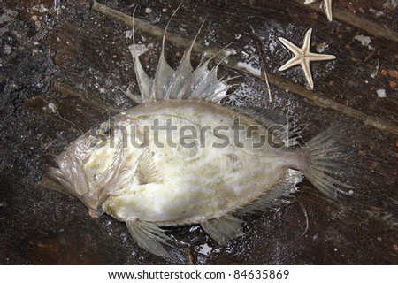 Raw John Dory - stock photo