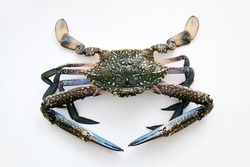 Raw large sized crab with pointed claws and ornament on carapace on white surface