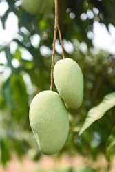 raw mango hanging on tree with leaf background in summer fruit garden orchard / green mango tree
