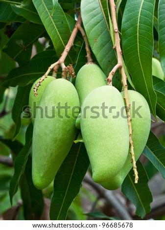 raw mango on tree in the organic farm