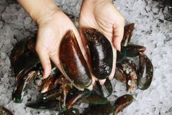 Raw Mussel on hands / Fresh seafood shellfish on ice. Jumbo Mussels