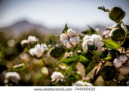 Raw Organic Cotton Growing at the Base of the Desert Mountains #744490420