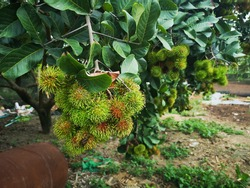 Raw Rambutan fruit hang on the tree.It is an evergreen tree growing to a height of 12–20 m.The leaves are alternate, 10–30 cm long, pinnate, with three to 11 leaflets, each leaflet 5–15 cm wide.
