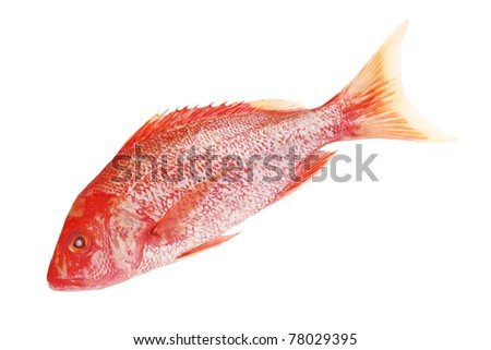 Raw Red snapper isolated on white background
