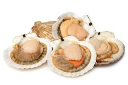 Raw scallops on white background