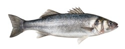 Raw seabass. One fresh sea bass fish isolated on white background with clipping path