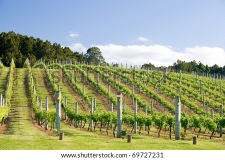 Raws of grape vines at vineyard - stock photo