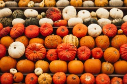 Raws of Various Sweet Squashes, Pumpkin concept. Traditional symbol for autumnal harvest, pumpkin soup, pie, Thanksgiving Day, Halloween. Farmland. Selective focus. Autumn organic veggie background.