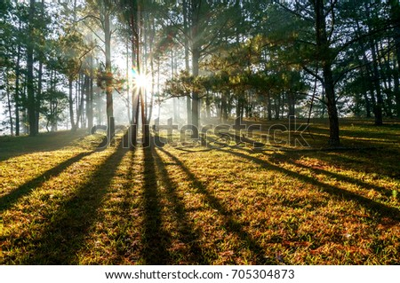 Ray at pine forest in the morning, Da lat, Vietnam. High, Best royalty free stock image,  high resolution