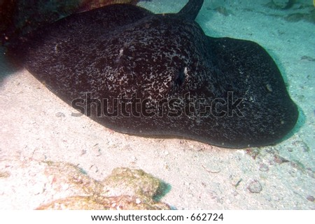 Ray in Cocos Island, Costa Rica