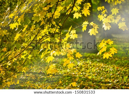 Rays of the autumn sun on the leaves