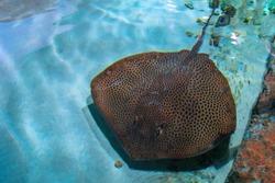 Rays (skates) deep-water fish. Stingray is a flat marine fish. Cramp-fish in blue water. Stingray swimming underwater, top view.