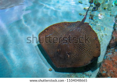 Rays (skates) deep-water fish. Stingray is a flat marine fish. Cramp-fish in blue water. Stingray swimming underwater, top view.