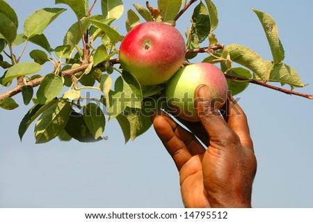 Reaching for a fresh apple