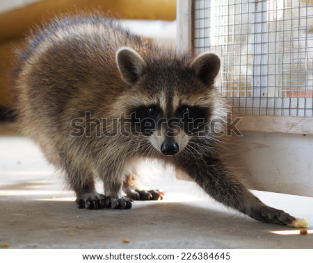 Reaching Raccoon