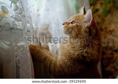 Read maine coon cat looking at window, hunting after birds