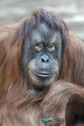 reading thoughts look  of an orangutan female.