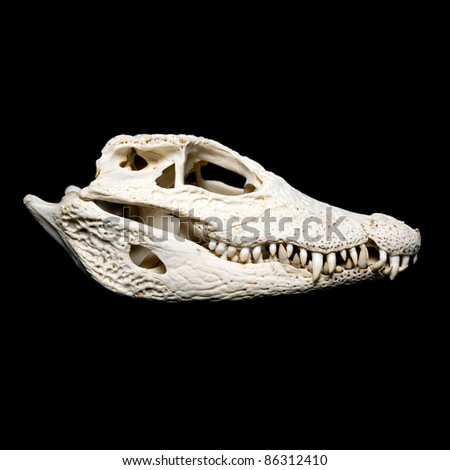 Real animal crocodile scull. Photo with black background