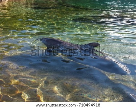 real dolphin in clear lagoon  #710494918