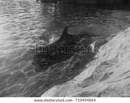 real dolphin in clear lagoon black and white #710494864