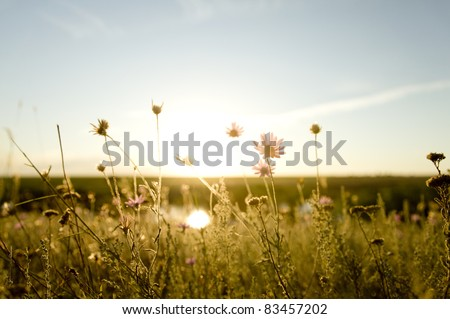 Real field and flowers at sunset.