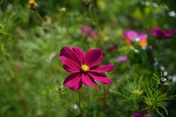 Real floral backround: cosmea flowers in summer garden