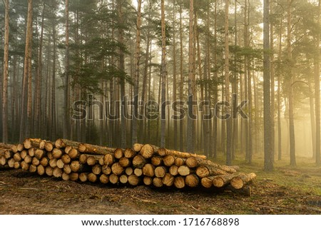 Real is beautiful. Fresh early morning mist in the forest. Beautiful sunrise in the woods cutting area with a fog. Felling of trees. Cut trees in a row. Forest protection concept. Stock photo ©