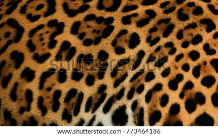Real Jaguar fur for background and texture.  #773464186